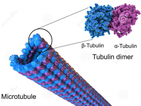 细胞骨架研究者的福利来了!Tubulin活细胞荧光探针看过来