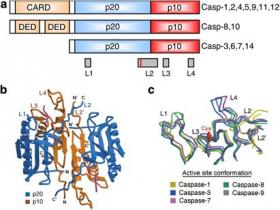 Caspase (1,2,3,4,6,8,9)活性检测试剂盒-简单三小步,助力凋亡研究一大步