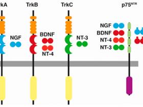 神经营养因子专题-BDNF检测哪家强,Scientific Report告诉您