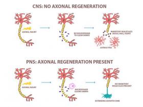 微管和肌动蛋白在轴突再生中的作用