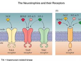 神经营养因子专题3-其他神经营养因子及相关受体