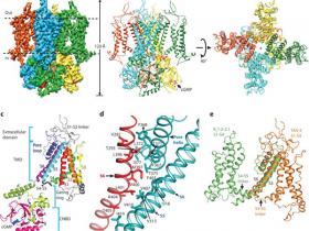 离子通道系列2——环核苷酸门控离子通道(CNG)