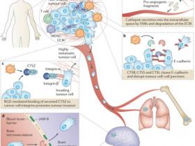 肿瘤&骨质疏松治疗新靶标 ——组织蛋白酶(Cathepsin)