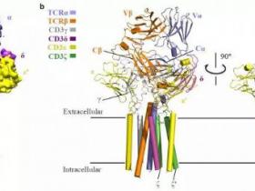 生物评论周报第94期:人T细胞受体-共受体复合物组装的结构基础