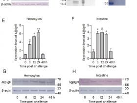 文献解读|虾类白斑综合症是如何感染的?WSSV病毒受体起决定作用