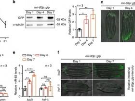 microRNA对衰老线虫不同组织自噬的破坏