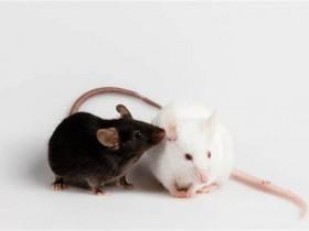 Science:脑科学研究,您还在用小鼠模型吗?