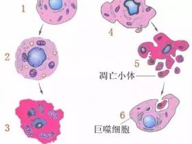 探秘细胞程序性死亡1——细胞凋亡及检测工具大盘点