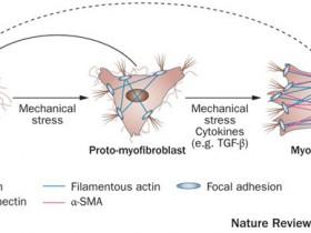 臻品一抗|α-SMA/ACTA2—肌成纤维细胞标志物抗体推荐