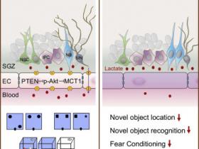 生物评论周报112期:Cell -Stem Cell:中国学者发现乳酸水平影响海马神经发生