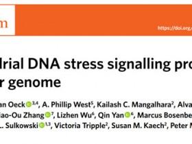 Nature Metabolism:线粒体应激会导致癌细胞产生耐药性?