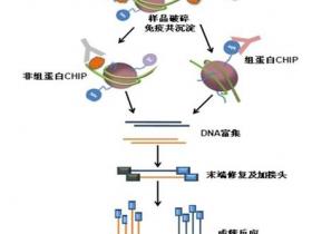 蛋白-DNA互作三驾马车之染色质免疫沉淀ChIP技术