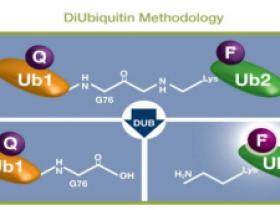 新型双泛素底物—精准检测去泛素化酶活性