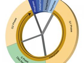 Biosensis的细胞周期调节剂研究相关抗体集合