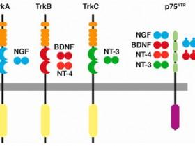 Biosensis神经营养因子受体研究相关抗体