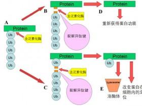 去泛素化酶(DUB)的5大家族,你了解多少?