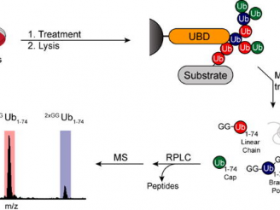 泛素化蛋白快速富集纯化黑科技—TUBEs