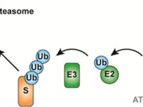如何检测蛋白是否泛素化?