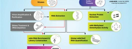 全套病毒RNAm6A甲基化修饰研究工具来了!