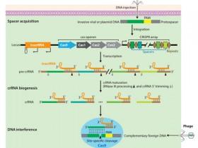 强大的基因组编辑工具——Crisp/cas9