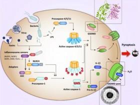 细胞焦亡:需要检测的重点指标有哪些?