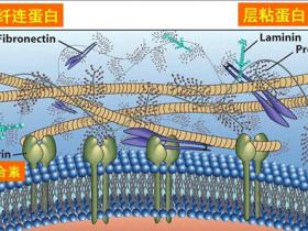 您不曾了解系列6:细胞外基质(ECM)研究工具