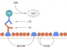 高品质HRP标记山羊抗人IgG二抗,与Fcγ片段特异性反应,你值得拥有!
