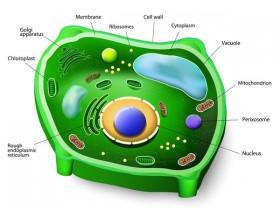植物研究必备,细胞质膜H+-ATPase抗体