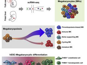 生物评论周报第149期:Cell Stem Cell:解析人类巨核细胞的发育过程