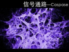 Caspases酶系列1:底物及抑制剂