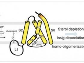 生物评论周报第153期:颜宁等最新论文:固醇类分子调节SREBP信号通路的分子机制