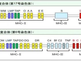 MHC Class I类五聚体--检测抗原特异性CD8 T细胞