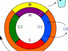 细胞周期分析——细胞周期染色试剂盒解决方案