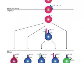 活化T淋巴细胞筛选——多色流式细胞术解决方案