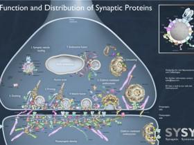 神经生长,修复再生?突触素(Synaptophysin)抗体的秘密