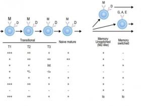 如何利用多色流式细胞术筛选抗体分泌B细胞