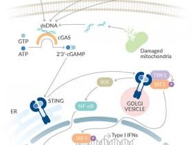 肿瘤治疗cGAS抑制剂筛选工具