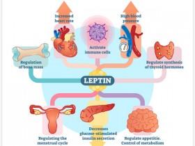 爆款:3篇Cell,手把手教你测瘦素Leptin
