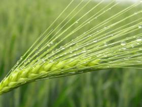 强大的细胞膜标记工具——小麦胚芽凝集素 (WGA)