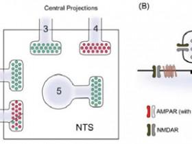 囊泡型谷氨酸转运蛋白2(VGLUT 2):纵横Nature, Cell,超能打