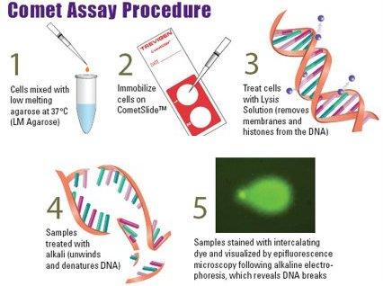 CometAssay® 彗星分析试剂盒