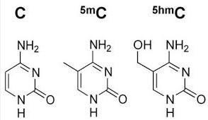 5hmC(5-羟甲基胞嘧啶)抗体与检测试剂盒—完整5hmC研究方案