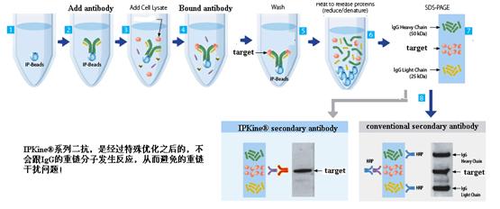 IPkine®系列二抗—有效去除免疫沉淀IP后WB重链干扰