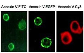 Annexin V 与细胞凋亡的不解之缘