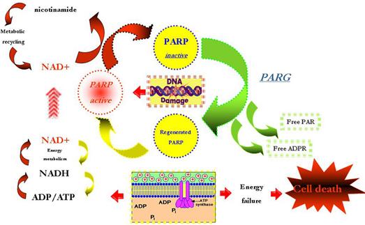 PARP体内药理动力学II代试剂盒-体内PARP抑制剂筛选方案