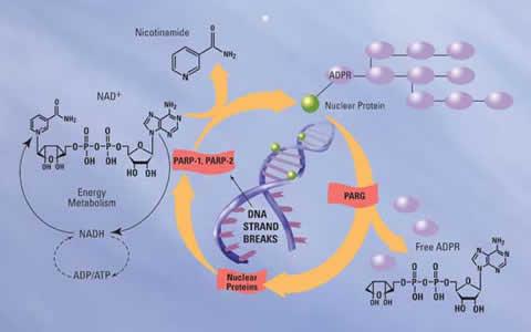 PAPR活性分析及抑制剂筛选试剂盒—通用PARP研究工具