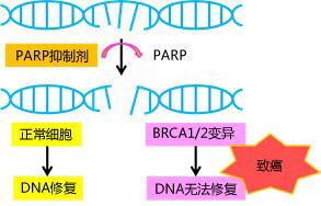 PARP抑制剂产品大全—ABT-888| 3-Aminobenzamide|DEA|DPQ
