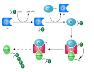 泛素抗体套装—实现游离泛素/单泛素化蛋白/多泛素化蛋白以及多泛素链的检测