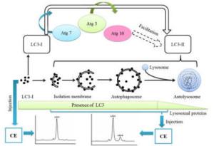 LC3抗体套装—同时检测3种不同自噬标记物LC3亚型(LC3A、LC3B、LC3C)