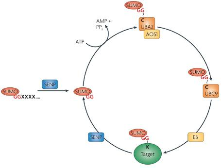 Sumo化蛋白定量试剂盒—小泛素化研究利器